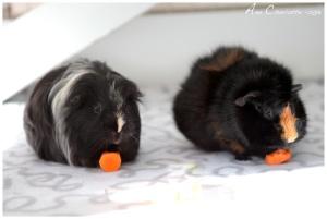 Guinea pigs-Ann Charlotte©-1-2